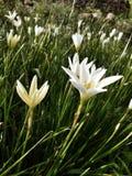 Flor blanca en luz del sol de la mañana del jardín Imagen de archivo