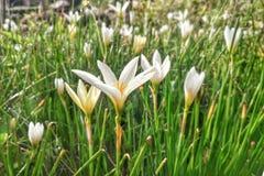 Flor blanca en luz del sol de la mañana del jardín Fotografía de archivo