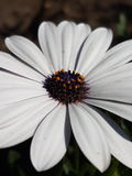 Flor blanca en mi ciudad natal Fotos de archivo