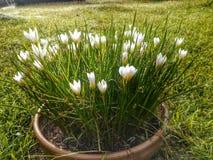 Flor blanca en pote Imagen de archivo libre de regalías