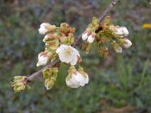 Flor blanca en resorte imagenes de archivo