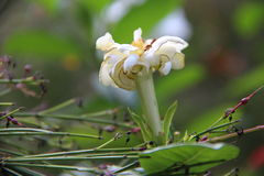 Flor blanca en su jerarquía foto de archivo
