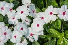 flor blanca en Tailandia Fotos de archivo libres de regalías