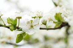 Flor blanca en tiempo de primavera Foto de archivo libre de regalías