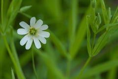 Flor blanca en un jardín verde Foto de archivo