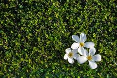 Flor blanca en un piso concreto con una pared del arbusto con la luz dura del sol Imagen de archivo libre de regalías
