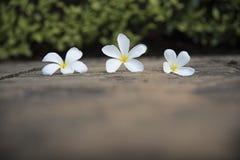 Flor blanca en un piso concreto con una pared del arbusto con la luz dura del sol Imagenes de archivo