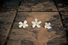 Flor blanca en un piso concreto con una pared del arbusto con la luz dura del sol Fotos de archivo libres de regalías