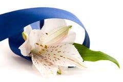 Flor blanca en venda azul Imágenes de archivo libres de regalías