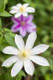 Flor blanca en vertical Fotos de archivo libres de regalías