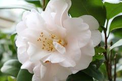 Flor blanca, flor del té de la camelia Imágenes de archivo libres de regalías