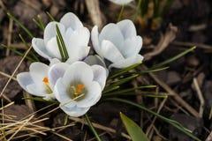 Flor blanca floreciente del azafrán en el brote Fotografía de archivo
