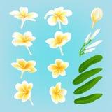 Flor blanca Frangiapani del plumeria Imágenes de archivo libres de regalías