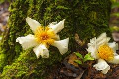 Flor blanca (Fried Egg Tree) en el registro cubierto con el musgo Foto de archivo libre de regalías