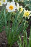 Flor blanca grande del narciso en primavera fotografía de archivo