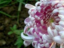 Flor blanca hermosa Imagenes de archivo