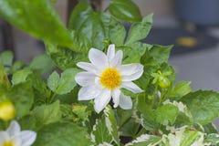 Flor blanca hermosa Imagen de archivo libre de regalías