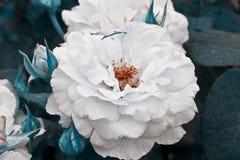 Flor blanca hermosa Arbusto color de rosa blanco El verano horizontal florece el fondo del arte Espacio en el fondo para la copia foto de archivo libre de regalías