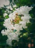 Flor blanca hermosa con las curvas y muchos estambres filamentosos fotos de archivo libres de regalías