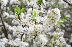 Flor blanca hermosa de Cherry Blossom o del ciruelo en tiempo de primavera en el parque nacional de Khun Sathan imagen de archivo