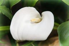 Flor blanca hermosa de la cala Fotografía de archivo