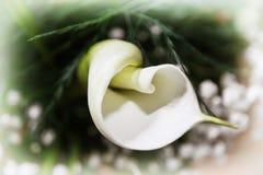 Flor blanca hermosa de la cala, escena natural detallada Foto de archivo libre de regalías