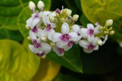 Flor blanca hermosa de la isla hawaiana Imágenes de archivo libres de regalías