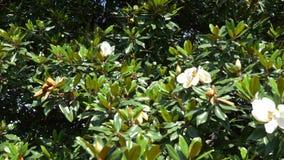 Flor blanca hermosa de la magnolia en el jard?n 4k, un ?rbol de la magnolia que agita por el viento C?mara lenta almacen de video