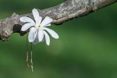 Flor blanca hermosa de la magnolia en una rama fotografía de archivo