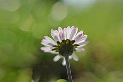 Flor blanca hermosa de la margarita de la manzanilla en campo de hierba verde/fondo natural Foto de archivo libre de regalías