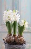 Flor blanca hermosa del jacinto Foto de archivo
