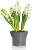Flor blanca hermosa del jacinto en un pote, en la parte posterior del blanco fotografía de archivo