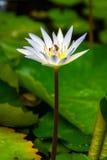 Flor blanca hermosa del nouchali del Nymphaea en una charca Foto de archivo libre de regalías