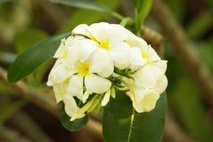 Flor blanca hermosa en Tailandia, flor del thom del Lan Imágenes de archivo libres de regalías