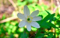 Flor blanca hermosa en un bosque, anémona macra imagen de archivo