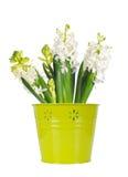 Flor blanca hermosa en un cubo verde, fondo blanco del jacinto fotografía de archivo