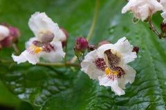 Flor blanca inusual con los brotes y los descensos del rocío Imagenes de archivo