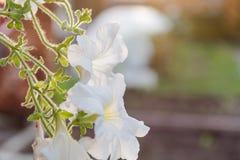 Flor blanca La flor crece en un pote La flor blanca como la nieve ha florecido Fotos de archivo libres de regalías