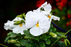 Flor Blanca Royalty Free Stock Images