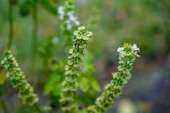flor blanca macra de la albahaca Foto de archivo libre de regalías