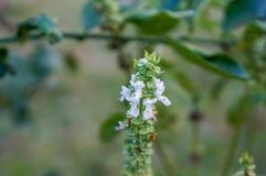 flor blanca macra de la albahaca Fotografía de archivo
