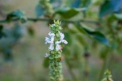 flor blanca macra de la albahaca Fotografía de archivo libre de regalías