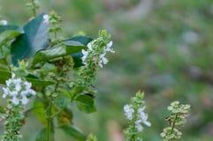 flor blanca macra de la albahaca Imagenes de archivo