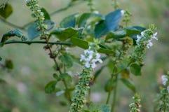 flor blanca macra de la albahaca Imágenes de archivo libres de regalías