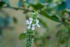 flor blanca macra de la albahaca Imagen de archivo