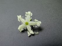 Flor blanca majestuosa aislada en el negro, imagen del primer fotografía de archivo libre de regalías