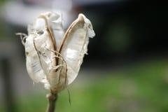 Flor blanca marchitada Imagen de archivo libre de regalías