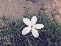 Flor blanca minúscula Fotografía de archivo libre de regalías