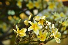Flor blanca o flor amarilla Foto de archivo