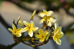 Flor blanca o flor amarilla Fotos de archivo libres de regalías